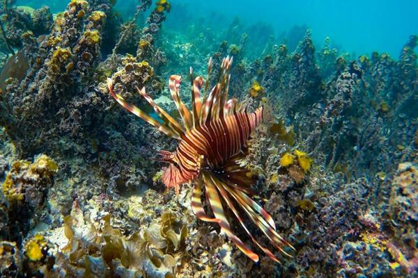 mauritius trou-aux-biches lionfish